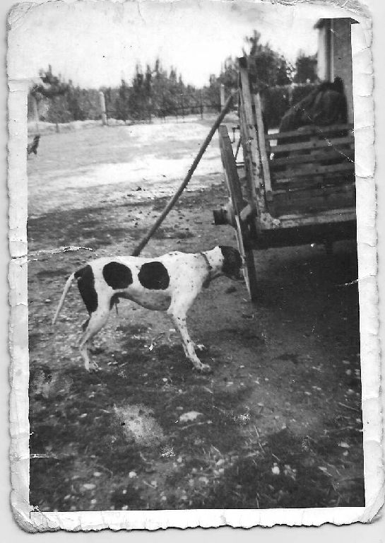Cortile contadino con carro per trasporto bestiame e cane da caccia (pointer)