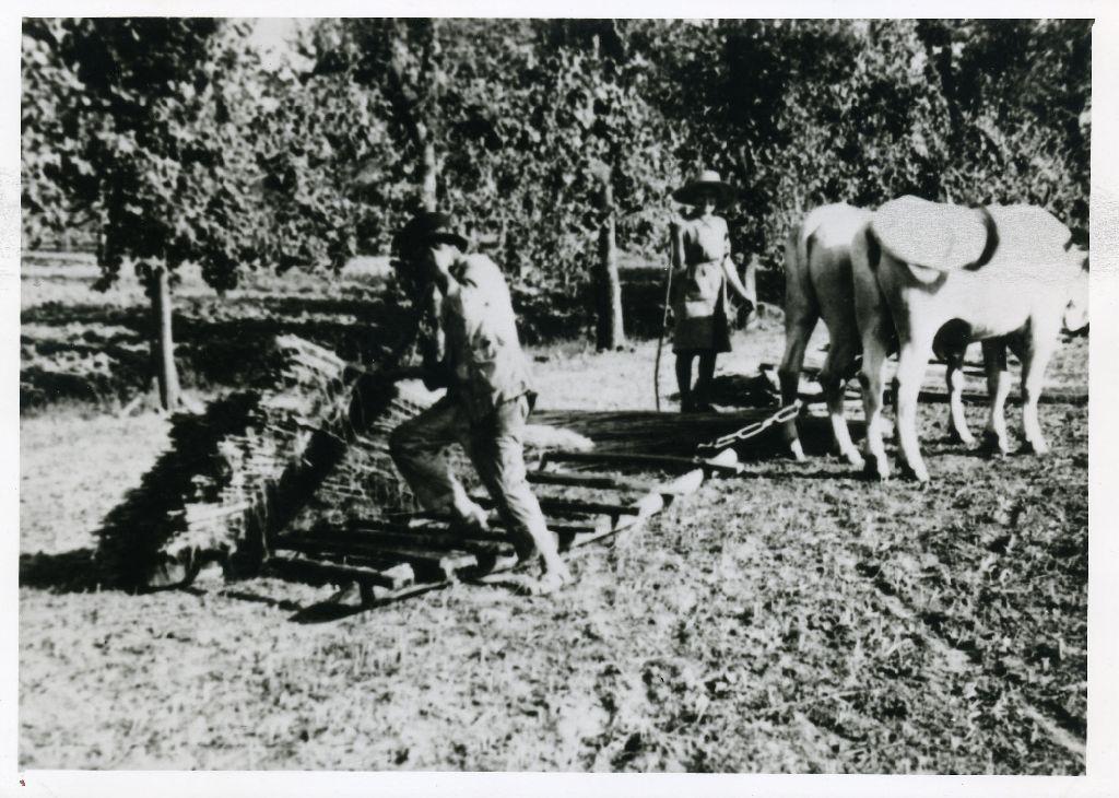 Treggia trainata da due buoi per il trasporto della canapa macerata, dal macero ad un campo per l'essicazione; nella foto è ritratto Pietro Cinti.