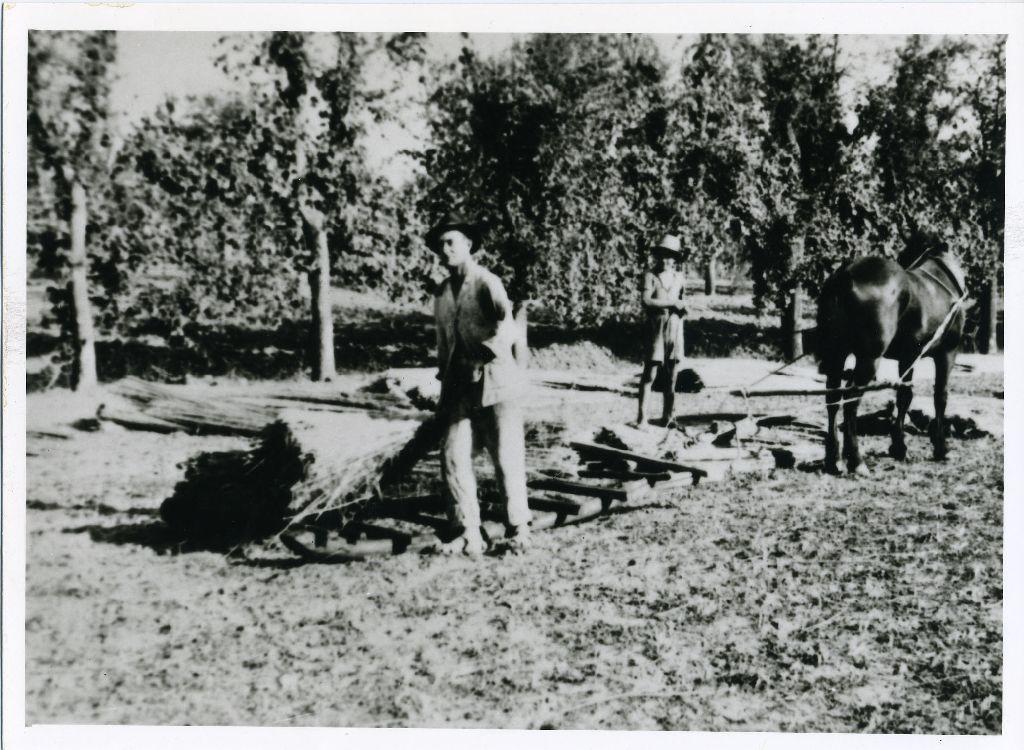Treggia trainata da un cavallo per il trasporto della canapa macerata, dal macero ad un campo per l'essicazione; nella foto è ritratto Pietro Cinti.