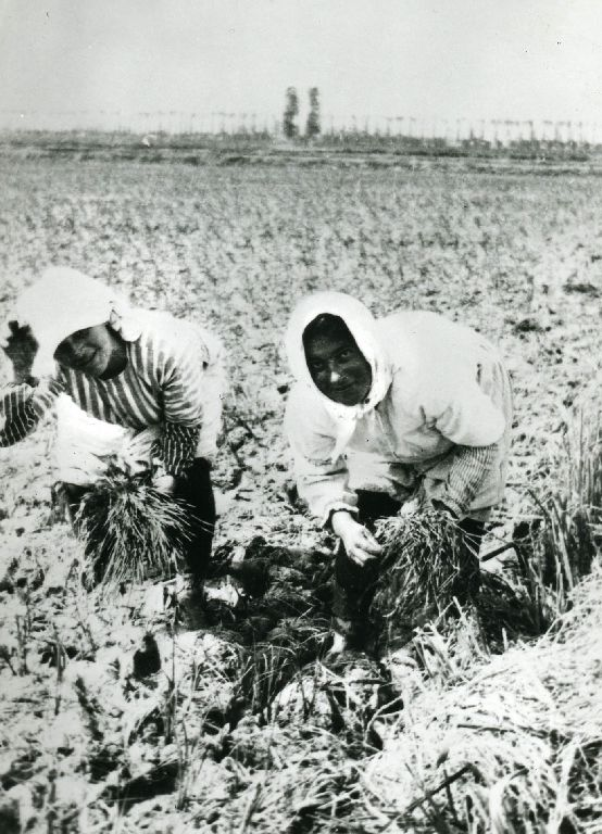 Mondine durante il trapianto del riso