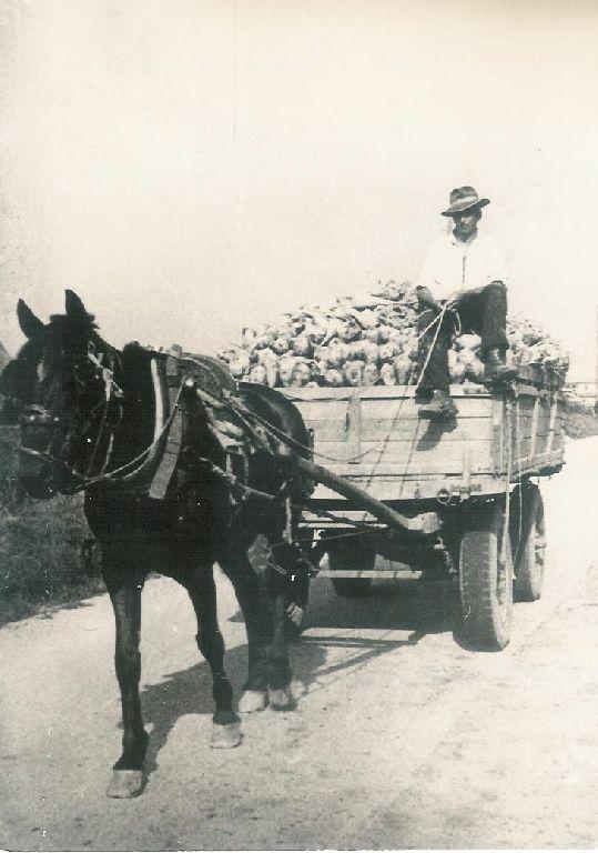 Carro carico di barbabietole trainato da un cavallo