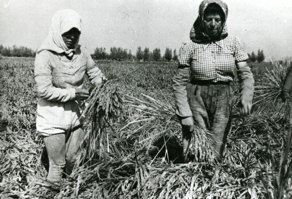 Mondine intente nella mietitura del riso