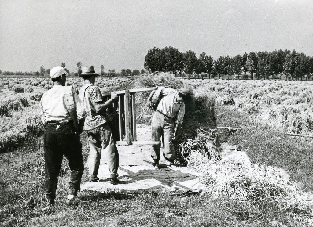 Trasporto dei covoni di riso effettuato con barelle di legno