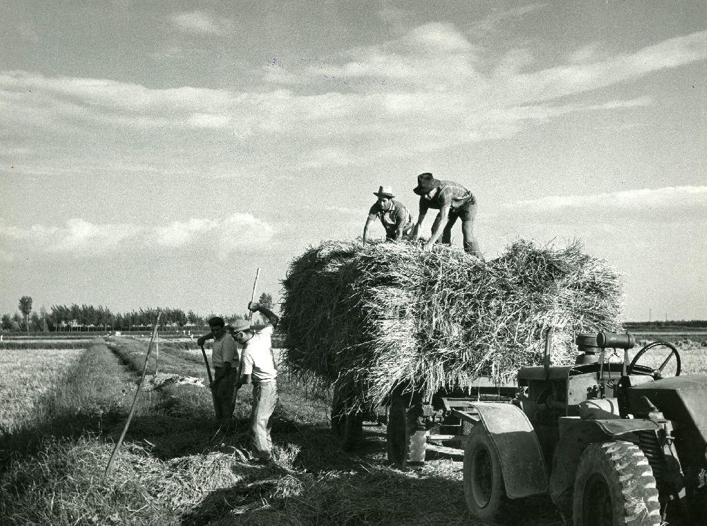 Braccianti intenti a caricare, su un carro agricolo trainato da trattore, il riso mietuto