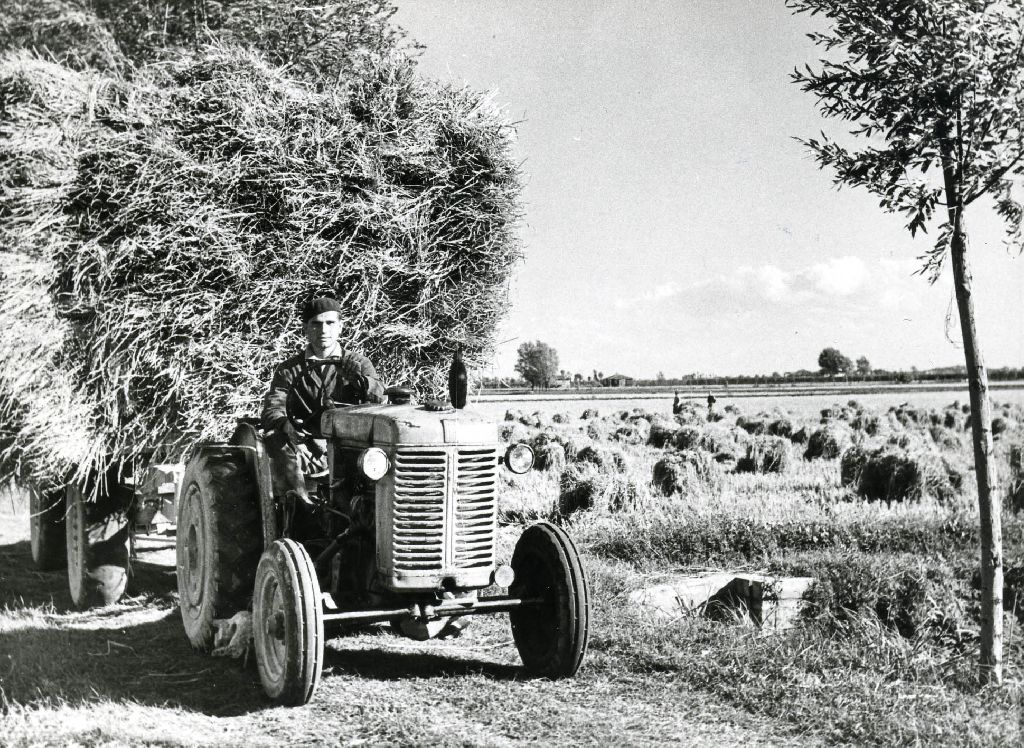 Trasporto dei covoni di riso mietuto, effettuato con un carro agricolo a ruote gommate, trainato da un trattore. A lato, nella risaia, covoni di riso .