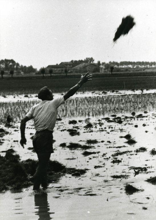 Distribuzione delle piantine di riso per il trapianto