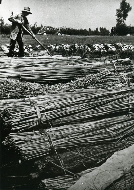 Preparazione, nel macero, delle zattere formate dai fasci di mannelle di canapa, zattere che verranno affondate per la macerazione, con i sassi che si vedono in secondo piano