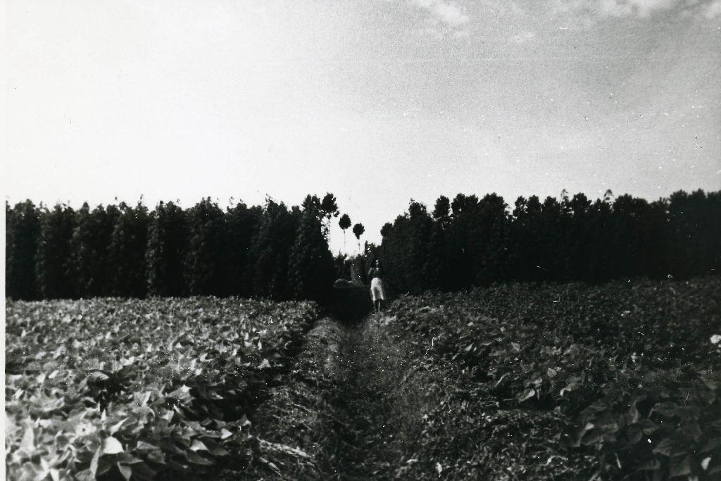 Campo sperimentale di canapa (seme Carmagnola) a maturazione quasi ultimata, in in consociazione con colture di fagioli, patate e bietole