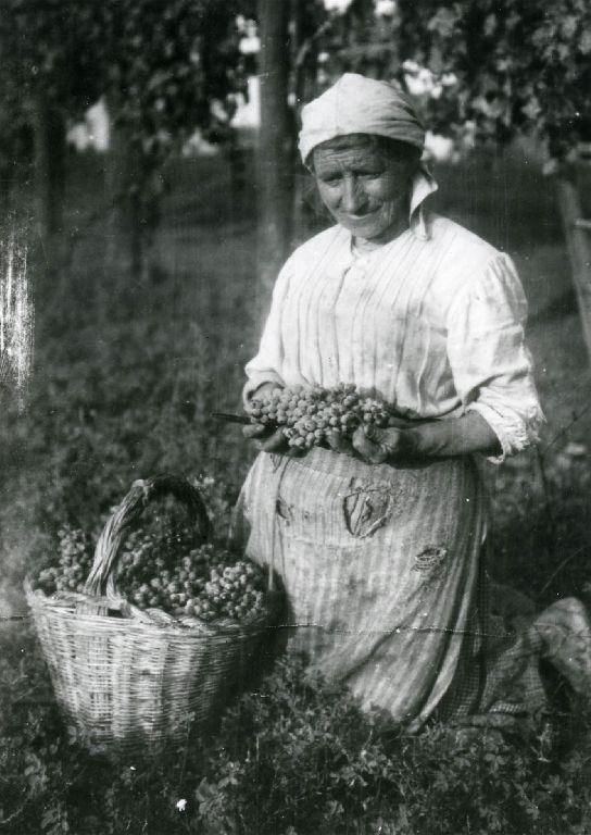 Ritratto della madre di Dario Bonori, intenta nella raccolta delle uve con cesto in vimini