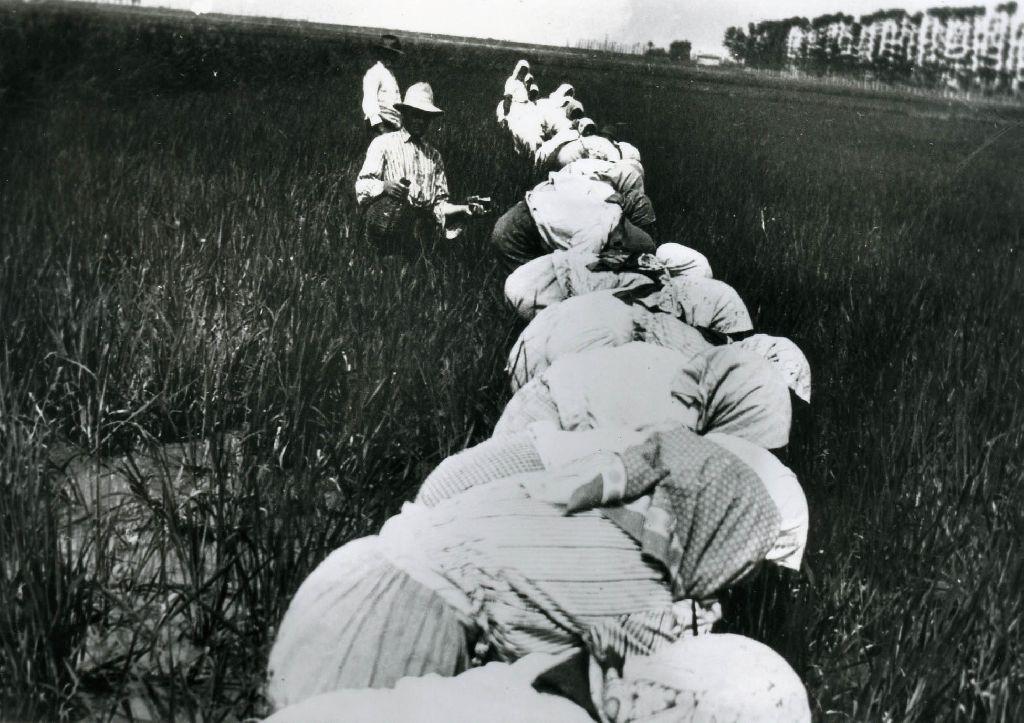 Mondine intente nella mondatura del riso