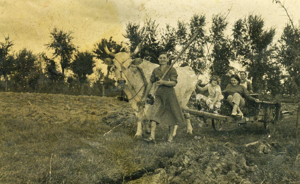Olga Franchini in Musiani, nata a Sala Bolognese il 23.08.1907, con carro trainato da bue, intenta nella raccolta del fieno per i conigli, Granarolo dell'Emilia 1939