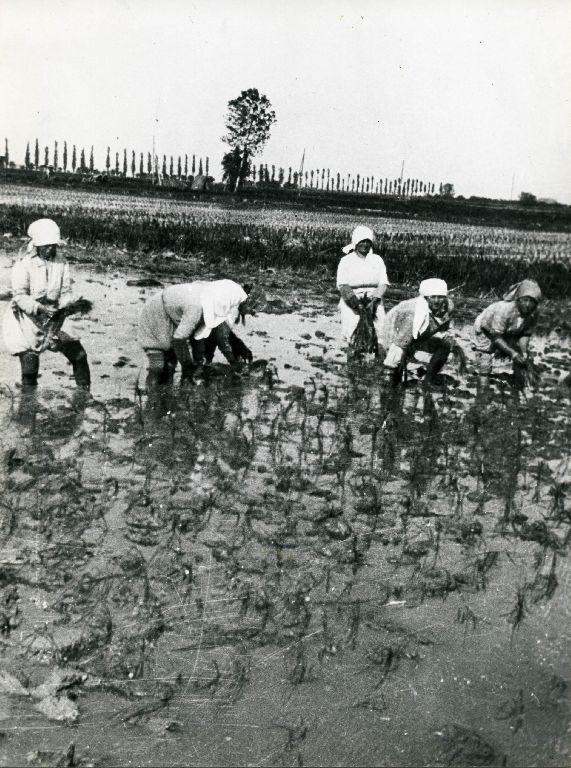 Trapianto delle piantine di riso